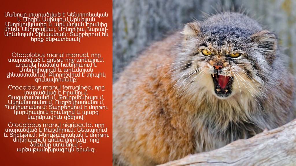 Մանուլը տարածված է Կենտրոնական և Միգին Ասիայում...