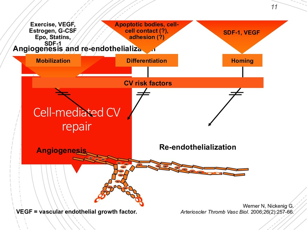 11 Cell-mediated CV repair Angiogenesis and re-...