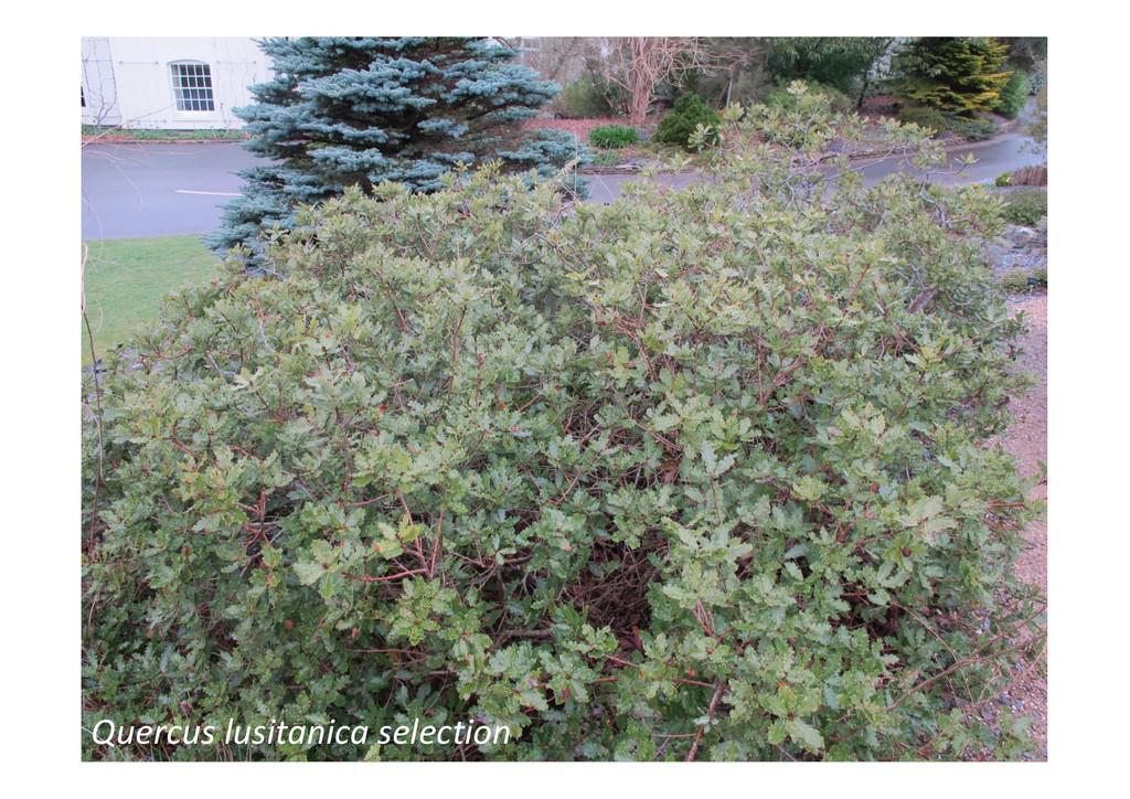 Quercus lusitanica selection