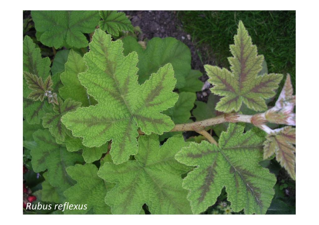 Rubus reflexus