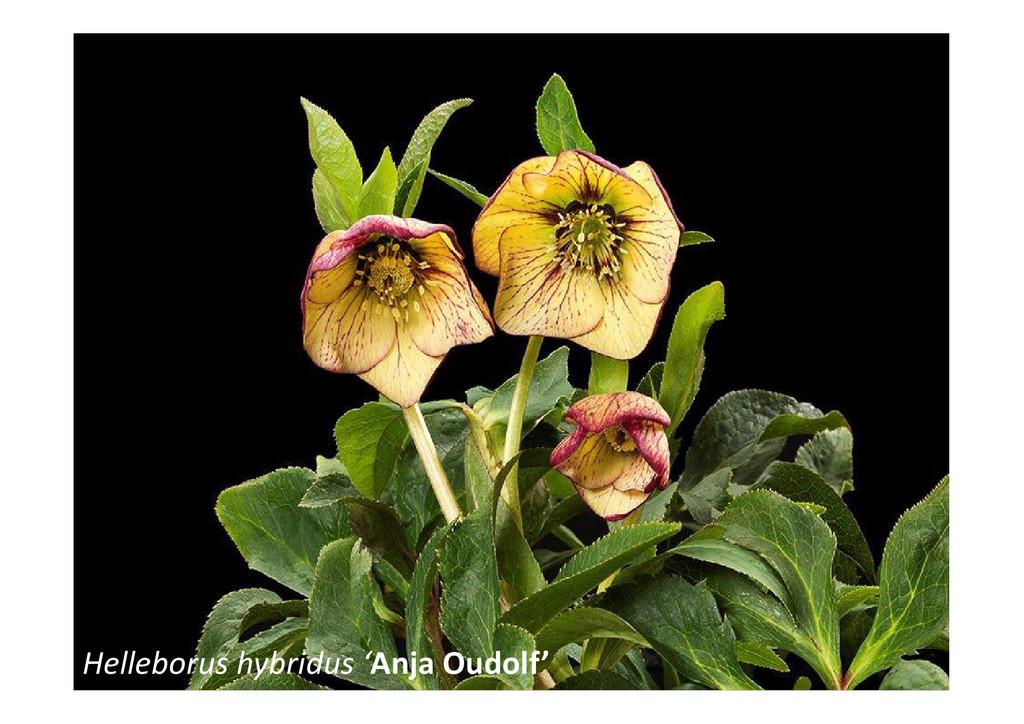 Helleborus hybridus 'Anja Oudolf'