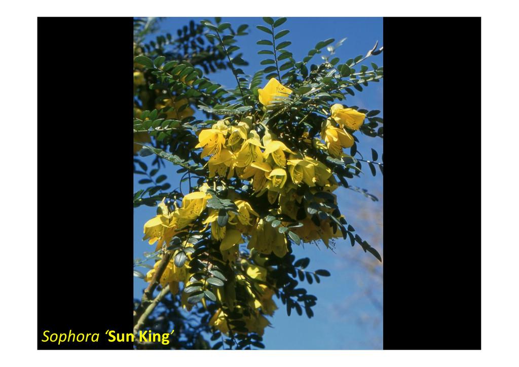 Sophora 'Sun King'