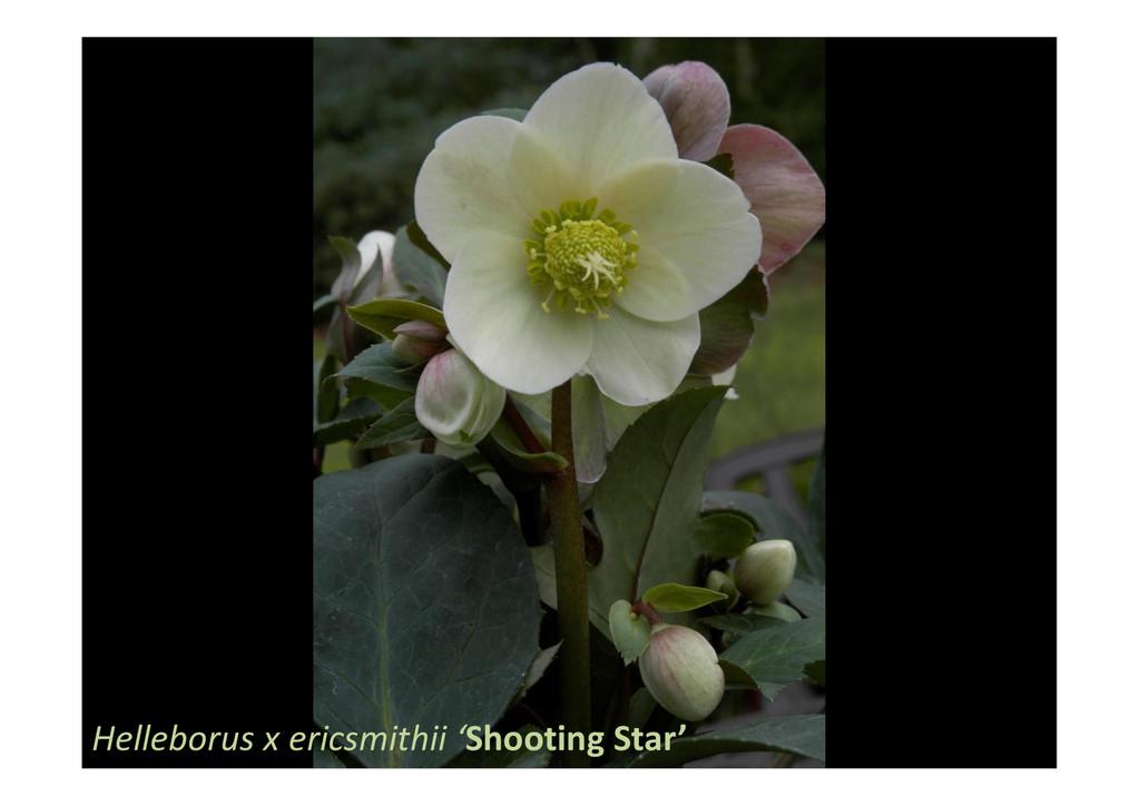 Helleborus x ericsmithii 'Shooting Star'
