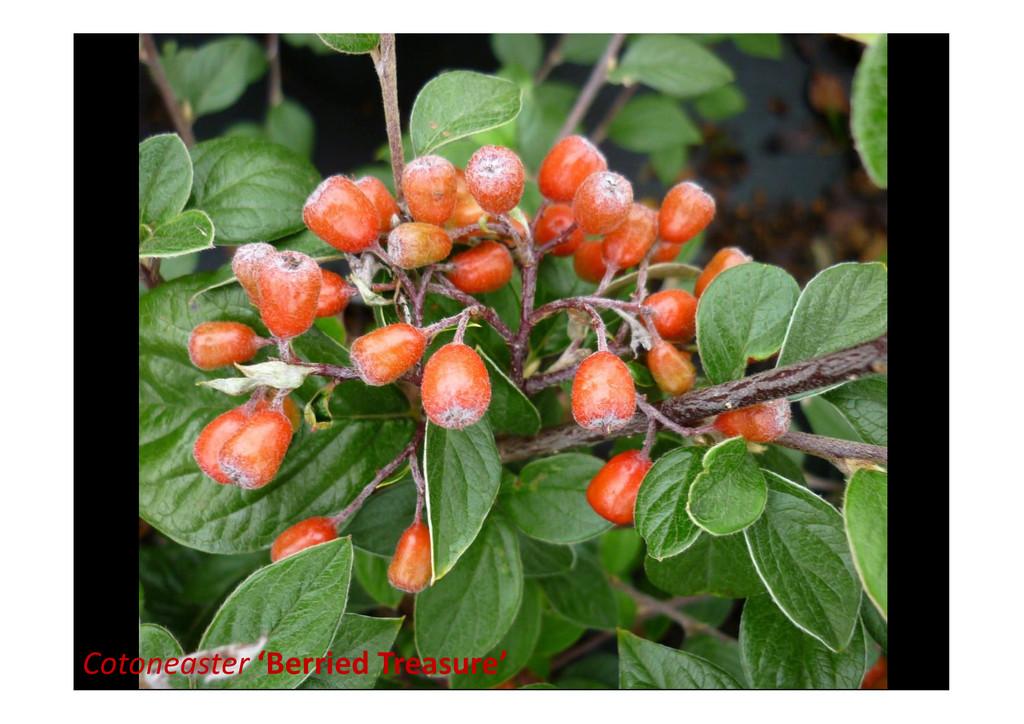 Cotoneaster 'Berried Treasure'