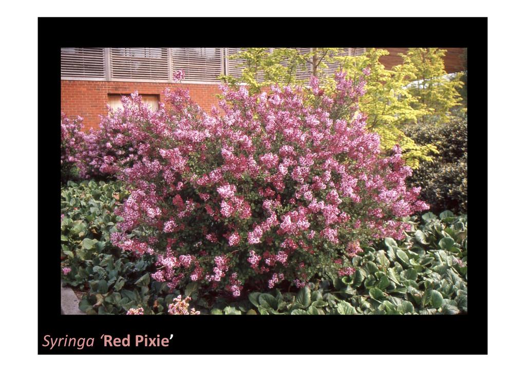 Syringa 'Red Pixie'