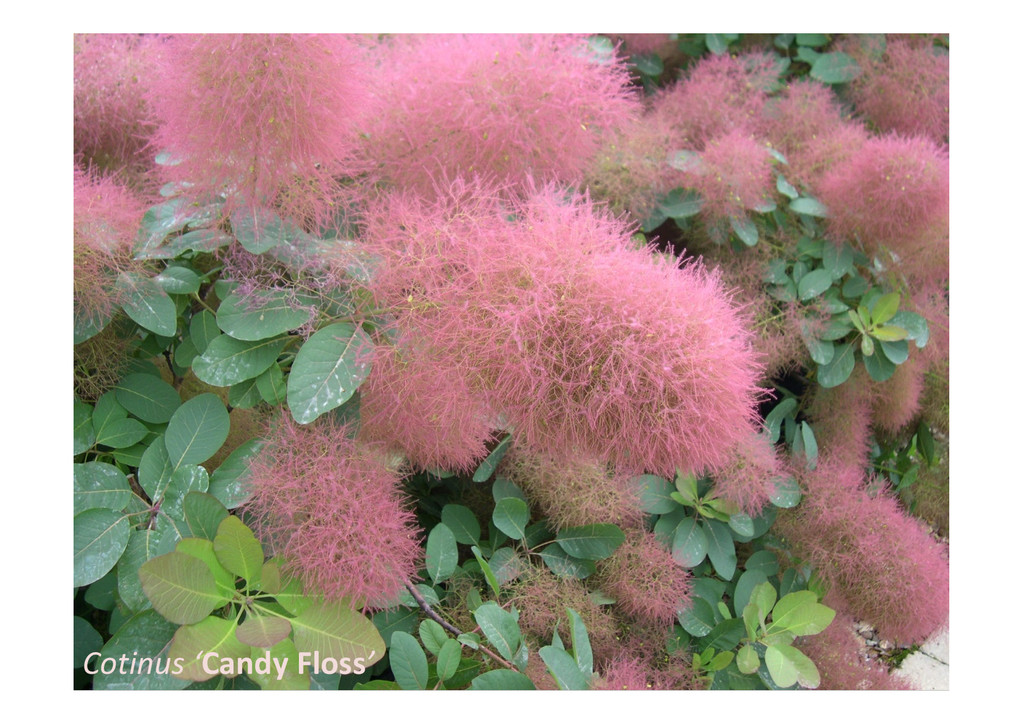 Cotinus 'Candy Floss'