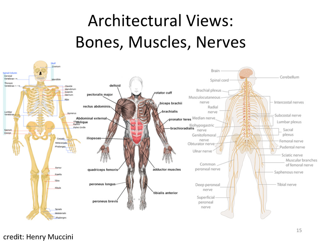 Architectural Views:  Bones, Muscles,...