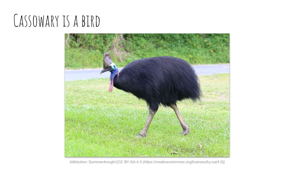 Cassowary is a bird Attribution: Summerdrought ...