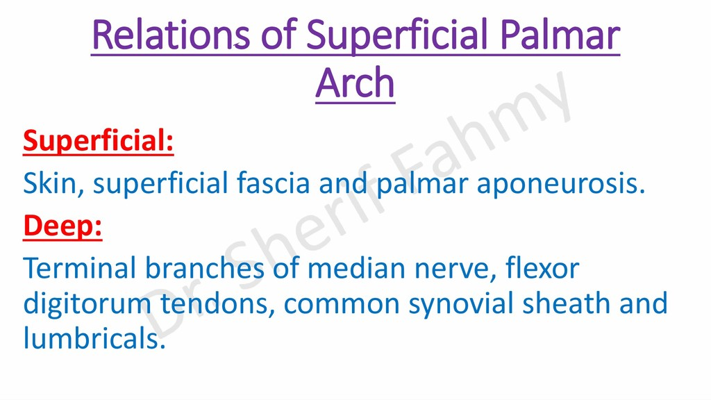 Relations of Superficial Palmar Arch Superficia...