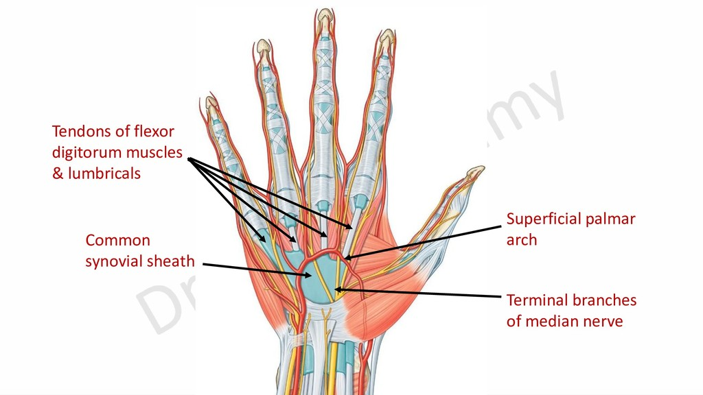 Superficial palmar arch Terminal branches of me...
