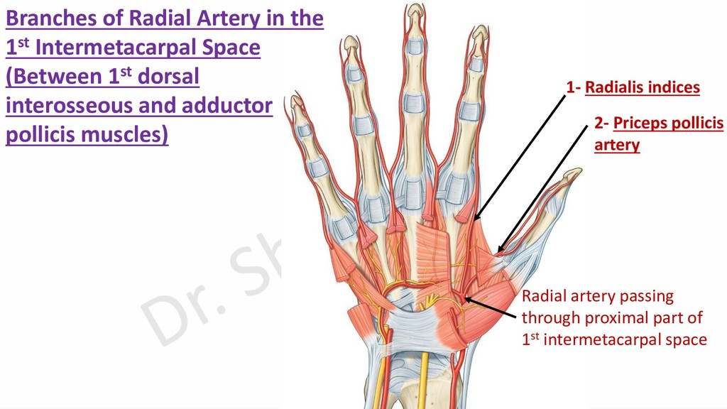 2- Priceps pollicis artery 1- Radialis indices ...