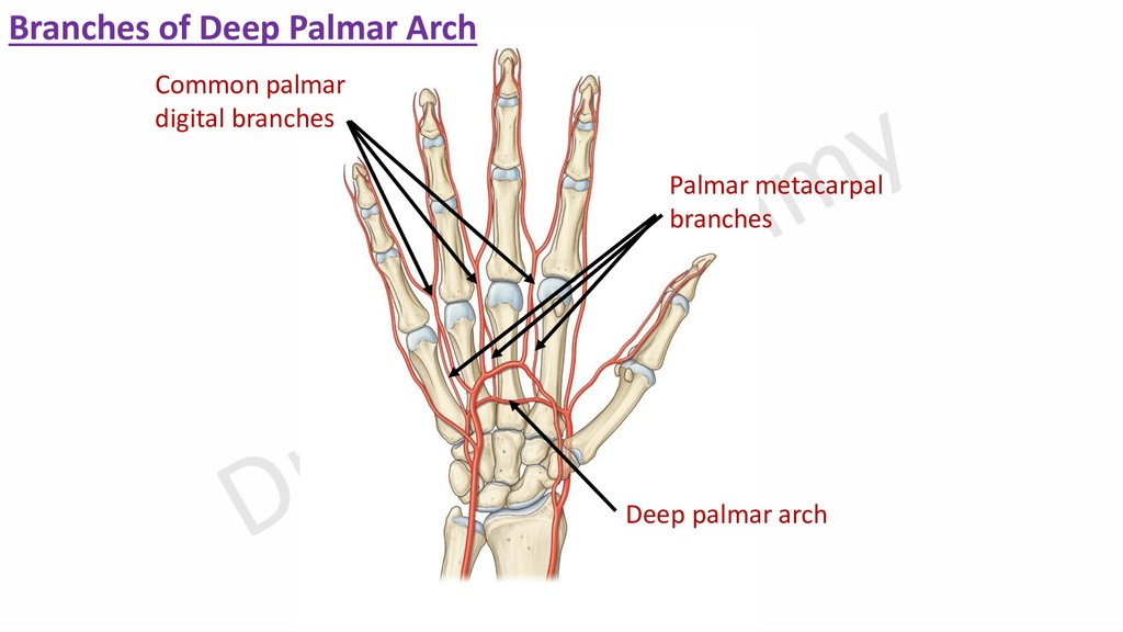 Palmar metacarpal branches Branches of Deep Pal...