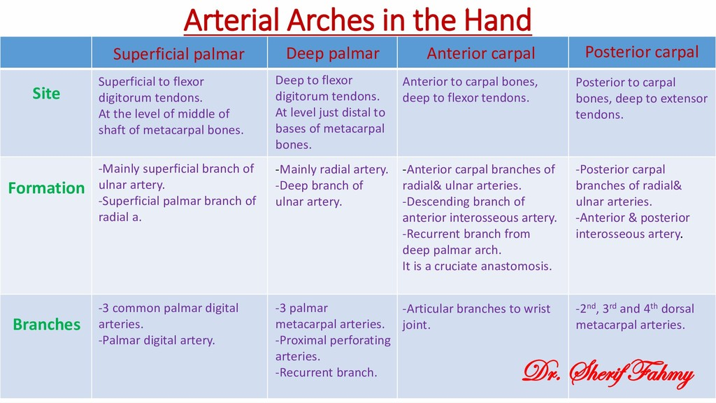 Arterial Arches in the Hand Superficial to flex...