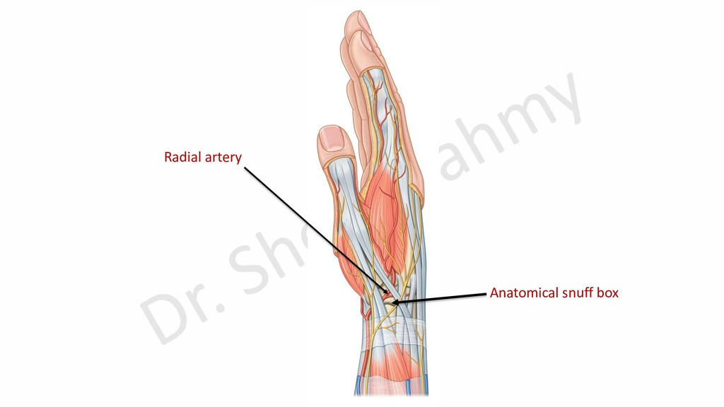Anatomical snuff box Radial artery