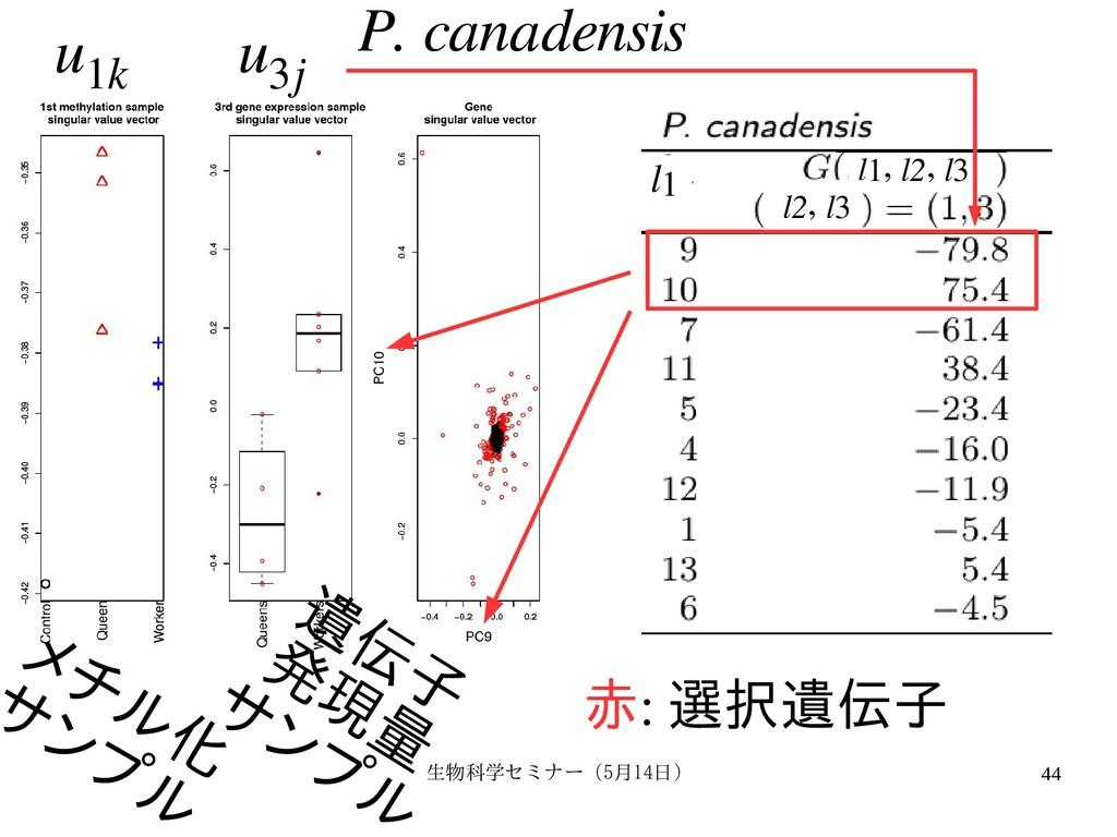 生物科学セミナー(5月セミナー(5月14日)月14日) 44 P. canadensis メチ...