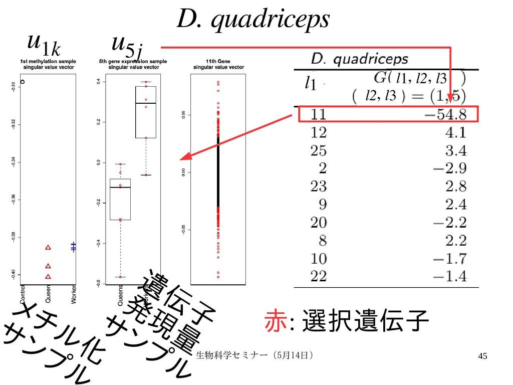 生物科学セミナー(5月セミナー(5月14日)月14日) 45 D. quadriceps 赤:...