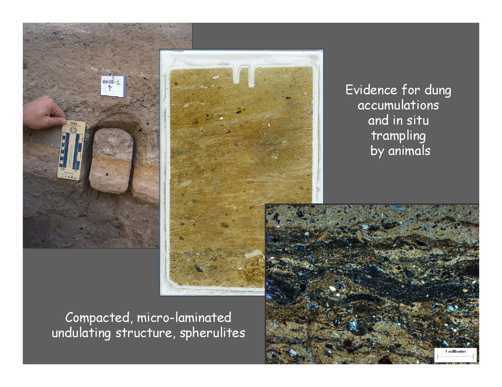 Evidence for dung accumulations and in situ tra...