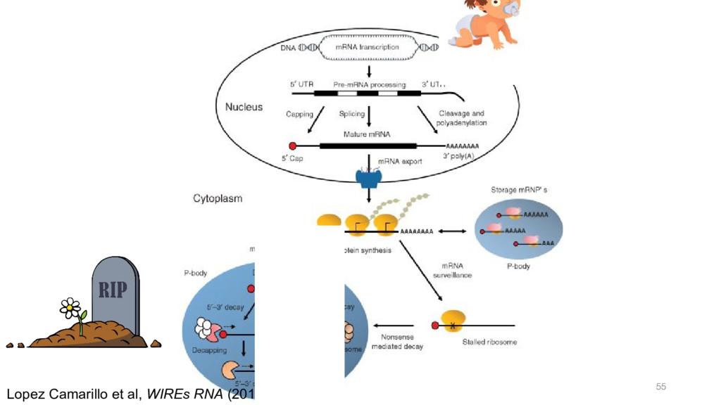 Lopez Camarillo et al, WIREs RNA (2014)