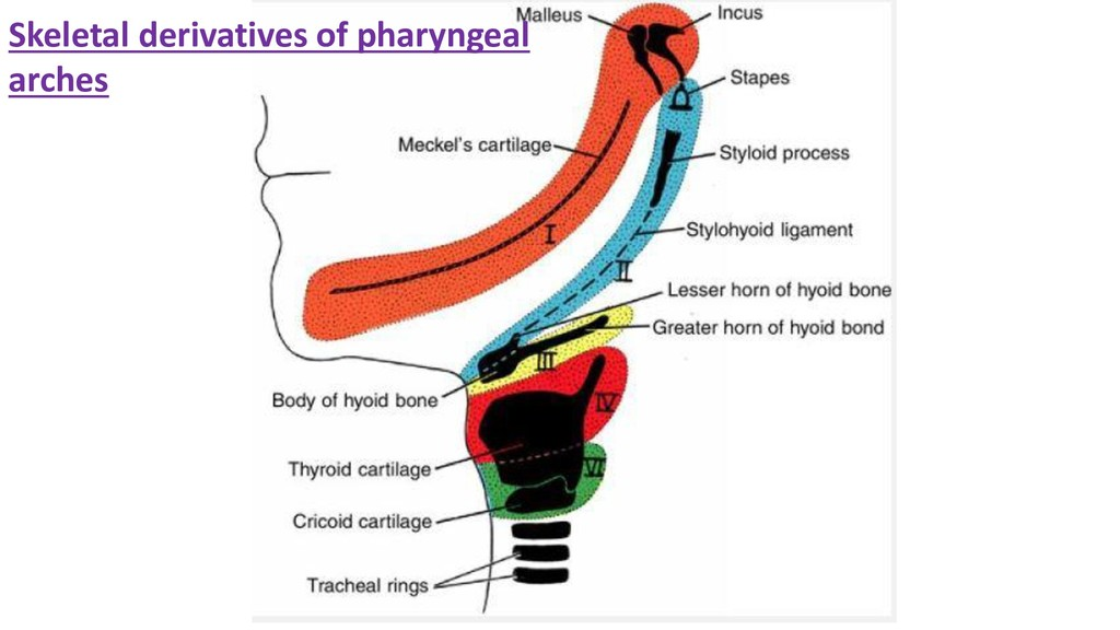Skeletal derivatives of pharyngeal arches
