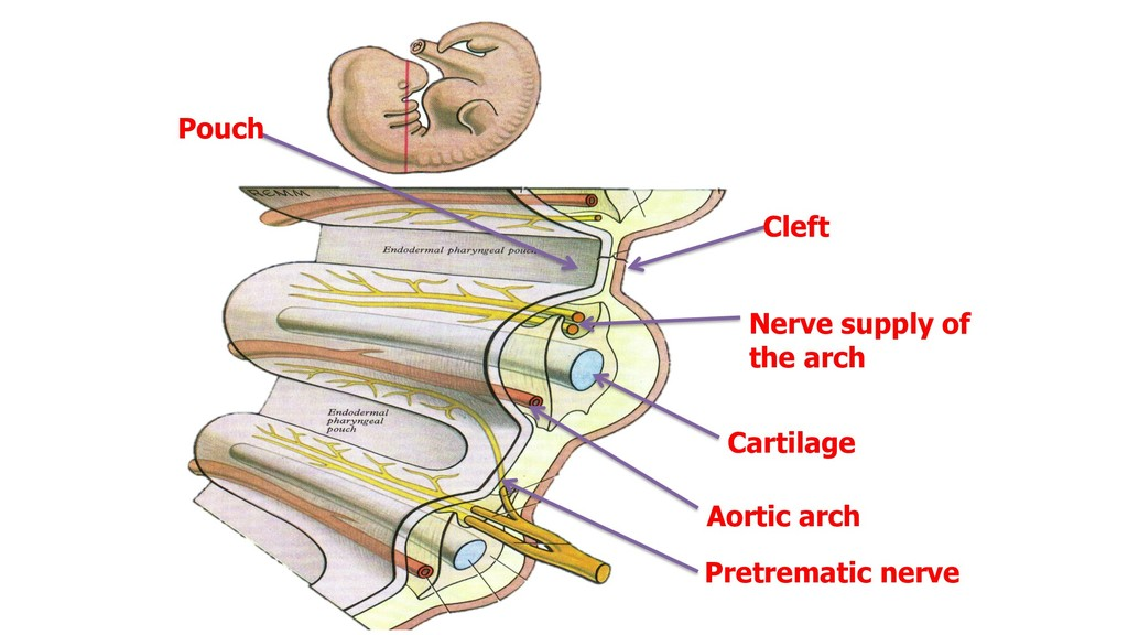 Cleft Pouch Cartilage Nerve supply of the arch ...