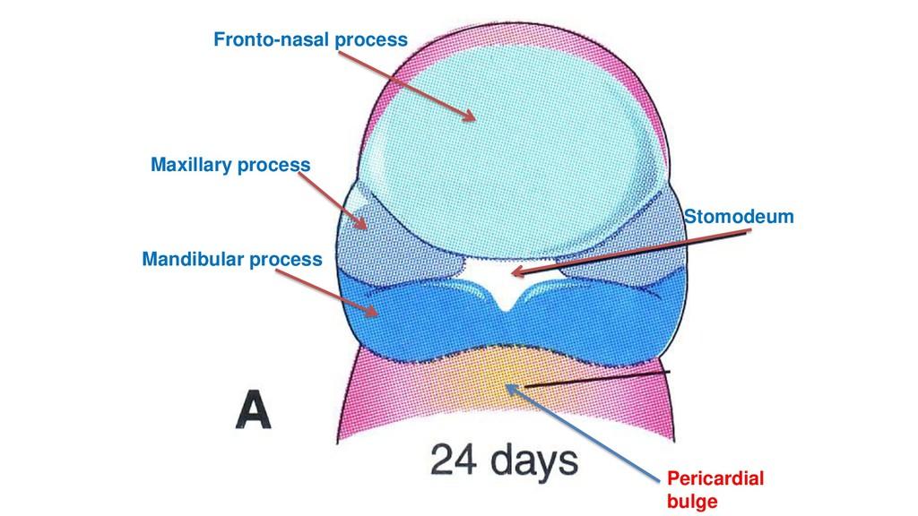 Fronto-nasal process Maxillary process Mandibul...