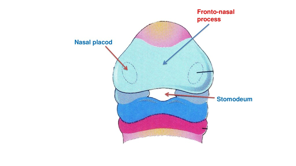 Nasal placod Stomodeum Fronto-nasal process