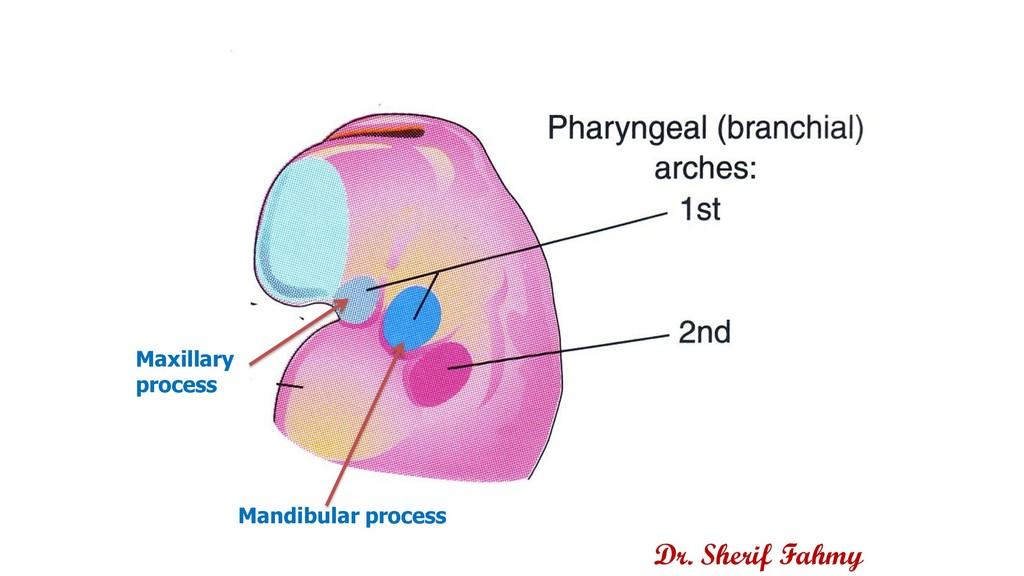 Dr. Sherif Fahmy Mandibular process Maxillary p...