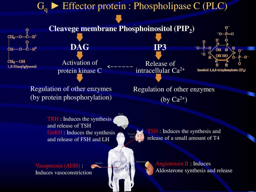 Gq ► Effector protein : Phospholipase C (PLC) C...