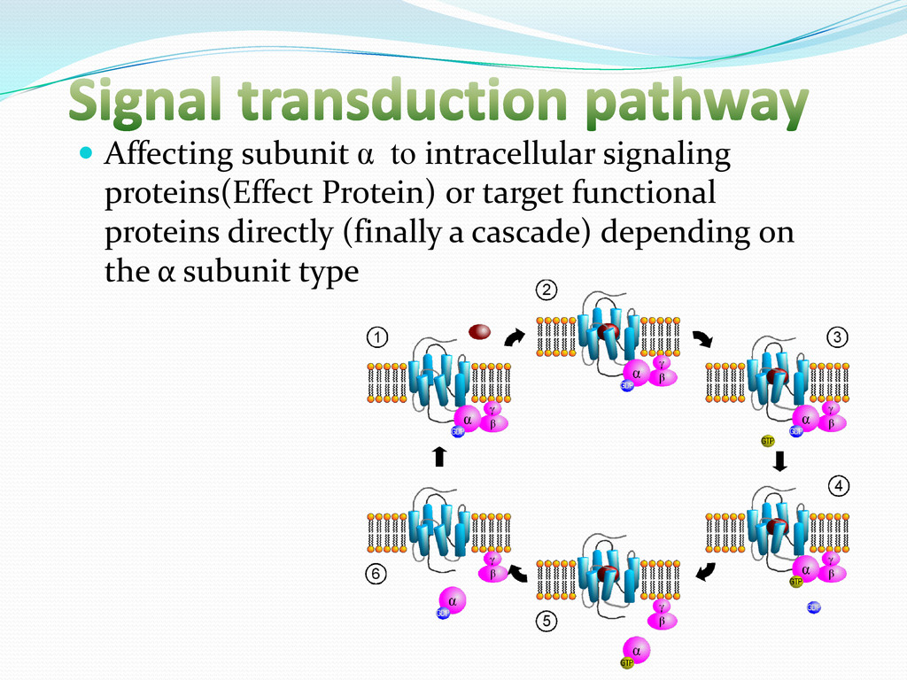  Affecting subunit α to intracellular signalin...
