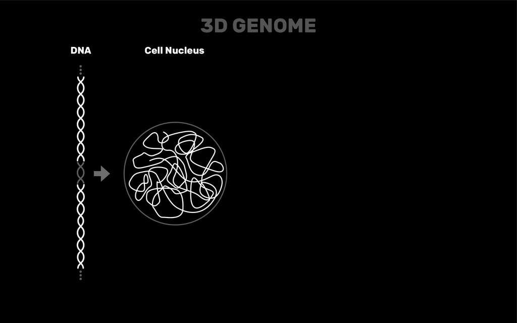 DNA Cell Nucleus 3D GENOME