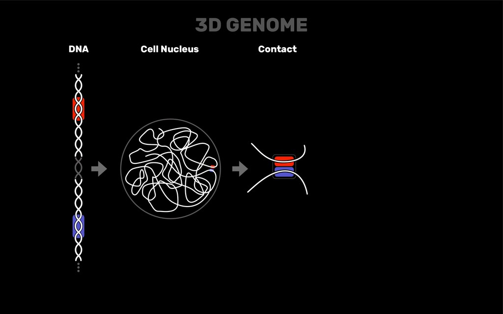 DNA Cell Nucleus Contact 3D GENOME