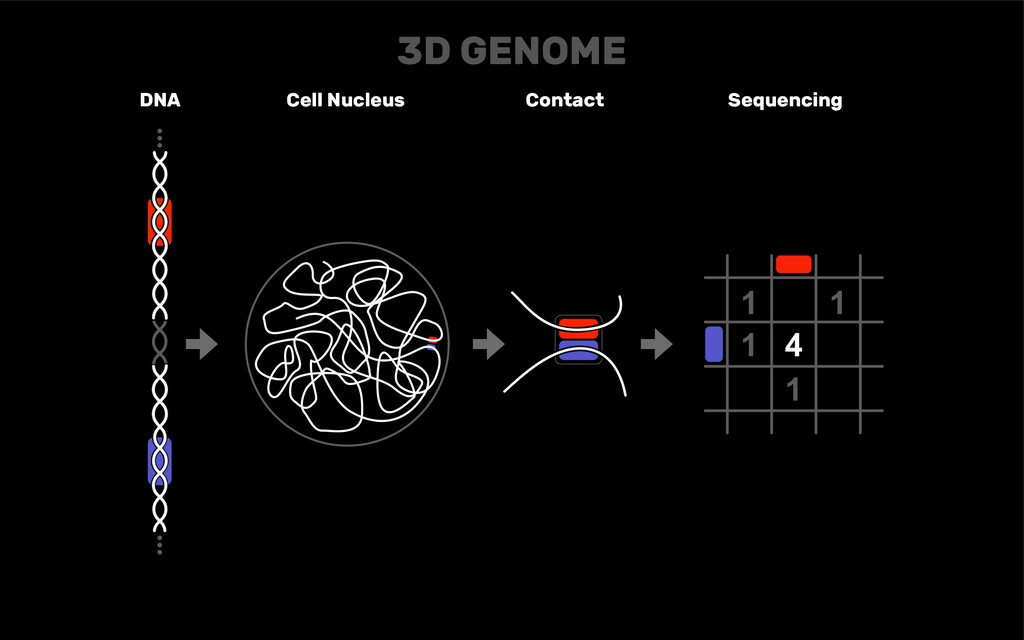 DNA Cell Nucleus Contact Sequencing 3D GENOME