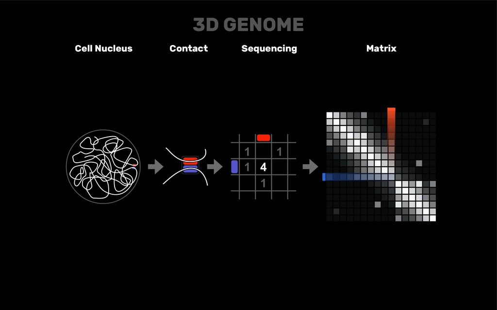 DNA Cell Nucleus Contact Sequencing Matrix 3D G...
