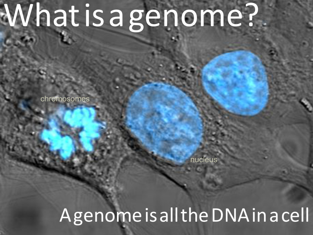 nucleus chromosomes Whatisagenome? Agenomeisall...