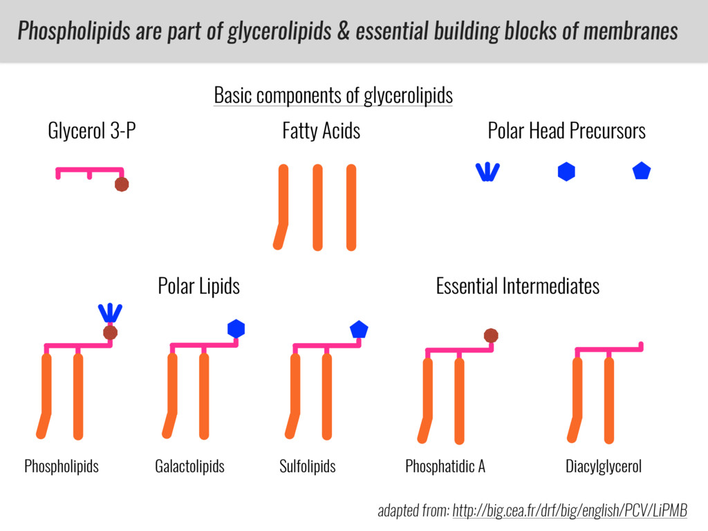 Phospholipids are part of glycerolipids & essen...