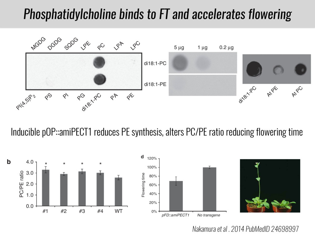 PT B73 CML312 Phosphatidylcholine binds to FT a...