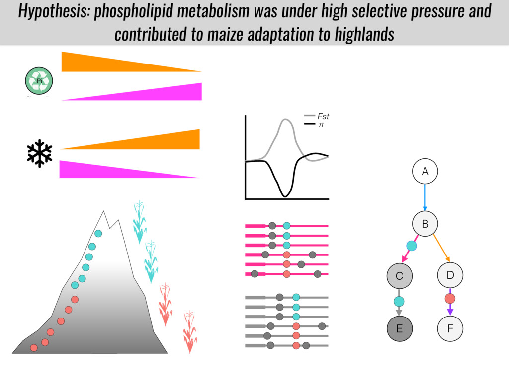 Fst π Hypothesis: phospholipid metabolism was u...
