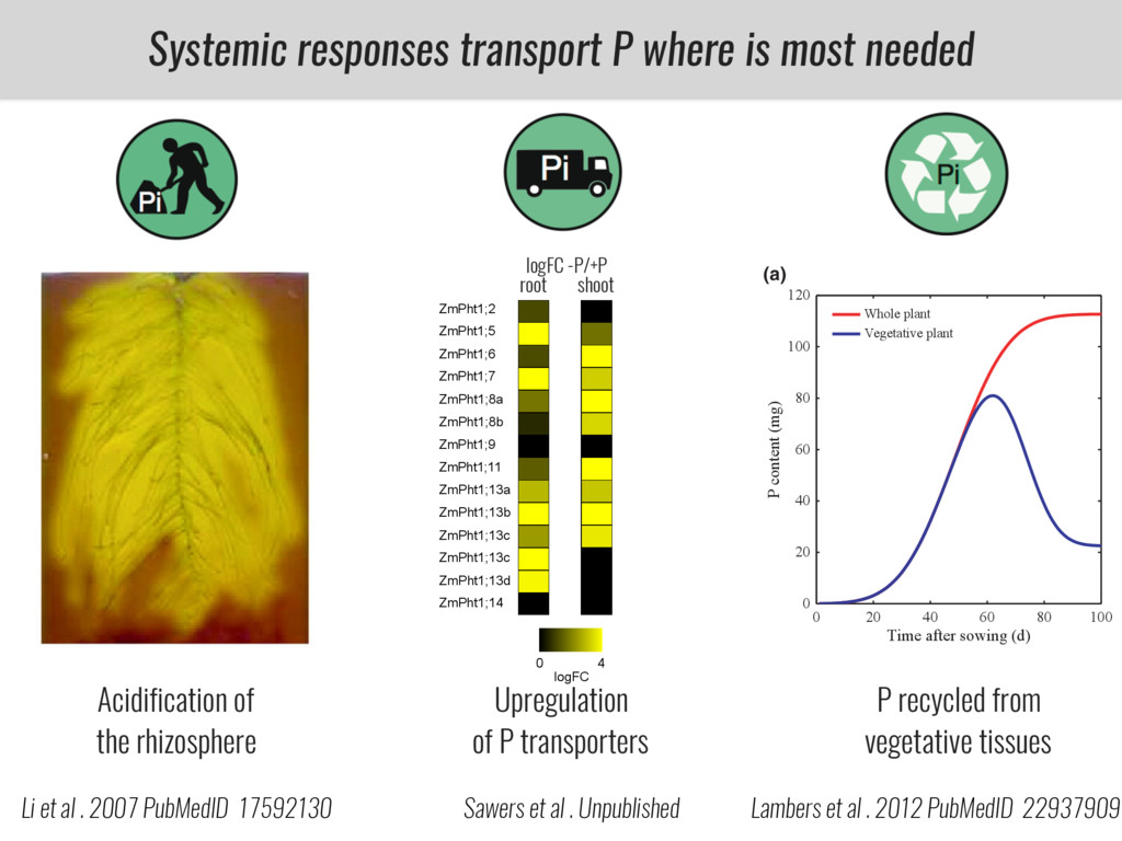 Systemic responses transport P where is most ne...