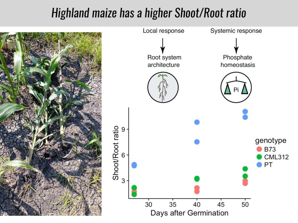 PT B73 CML312 Highland maize has a higher Shoot...