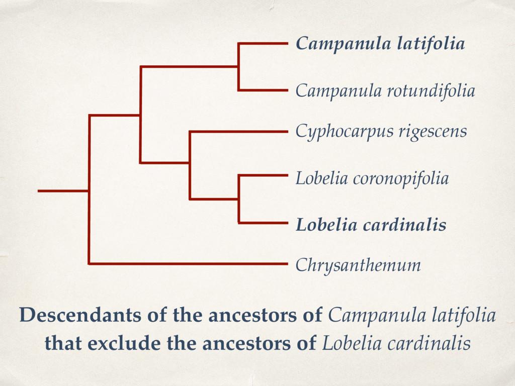 Campanula latifolia Campanula rotundifolia Lobe...