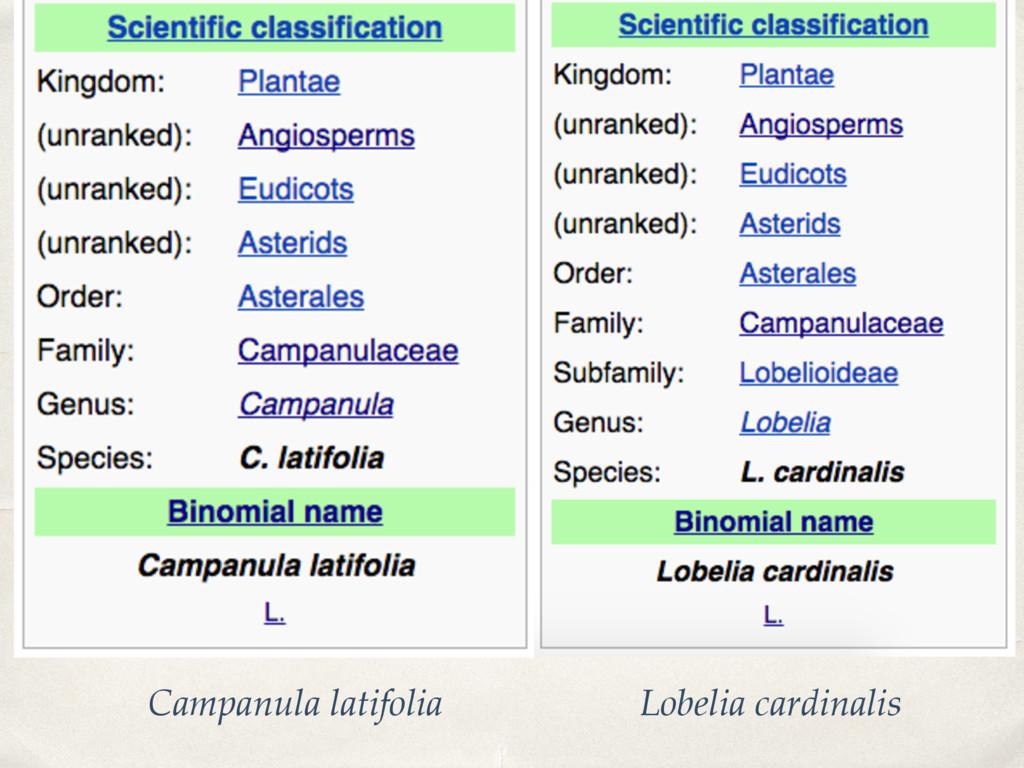 Campanula latifolia Lobelia cardinalis