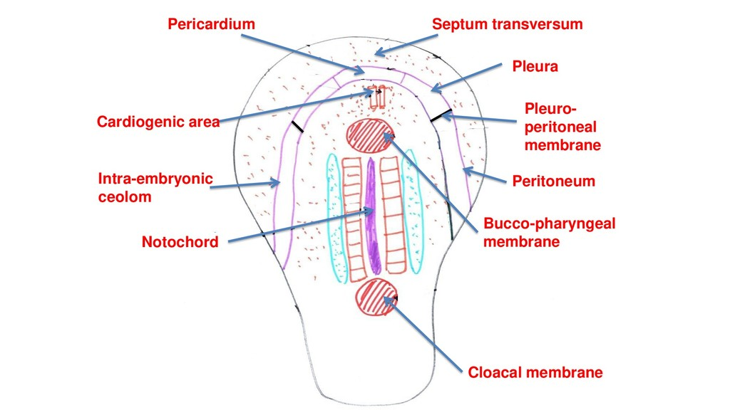 Bucco-pharyngeal membrane Cloacal membrane Card...