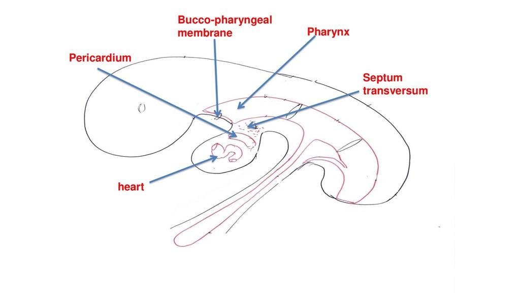 Bucco-pharyngeal membrane heart Pericardium Sep...