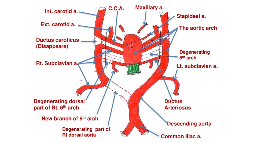 Maxillary a. Stapideal a. Ext. carotid a. Int. ...