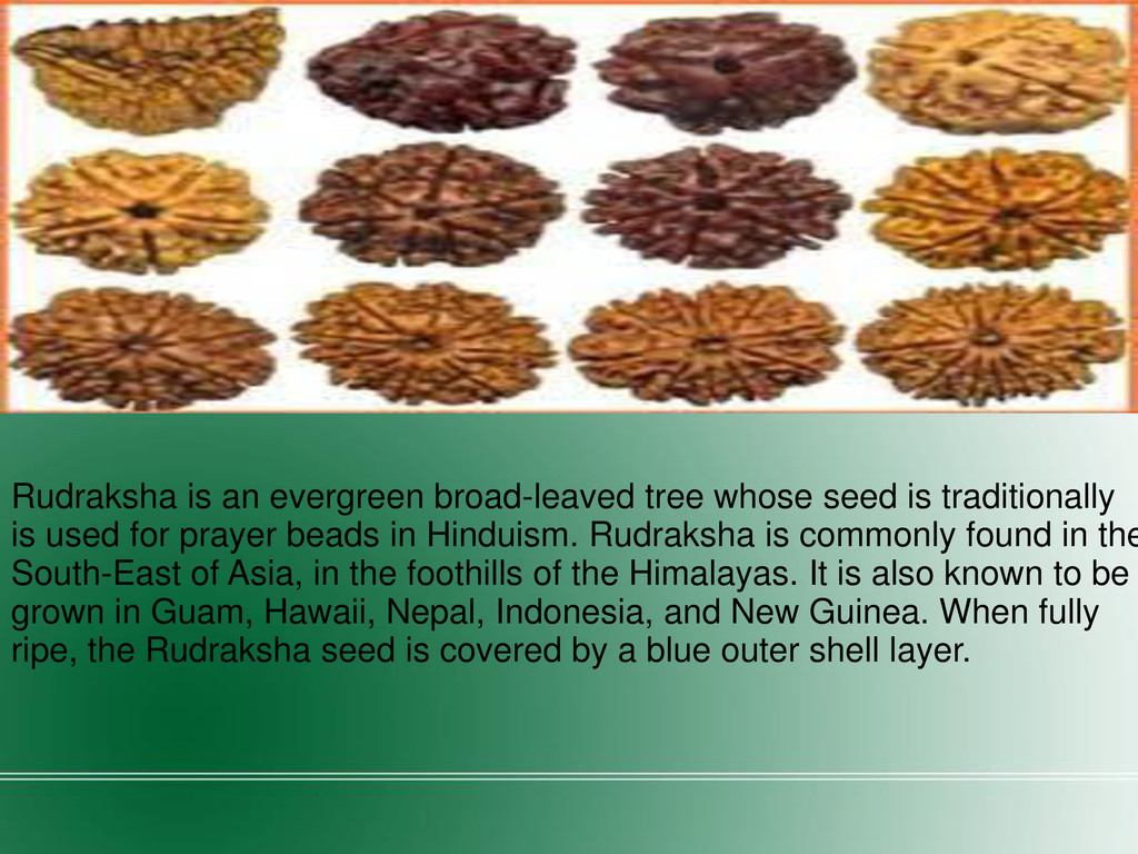 Rudraksha is an evergreen broad-leaved tree who...