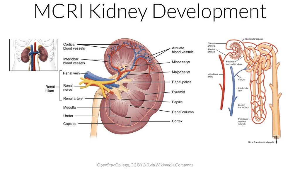 MCRI Kidney Development OpenStax College, CC BY...