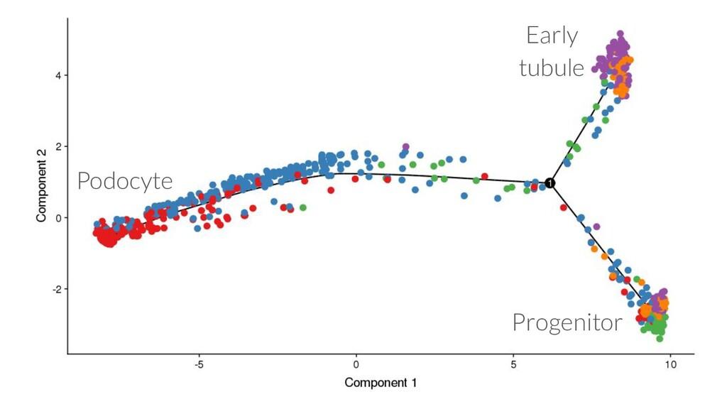Progenitor Early tubule Podocyte