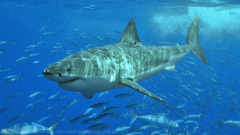 https://en.wikipedia.org/wiki/Great_white_shark...