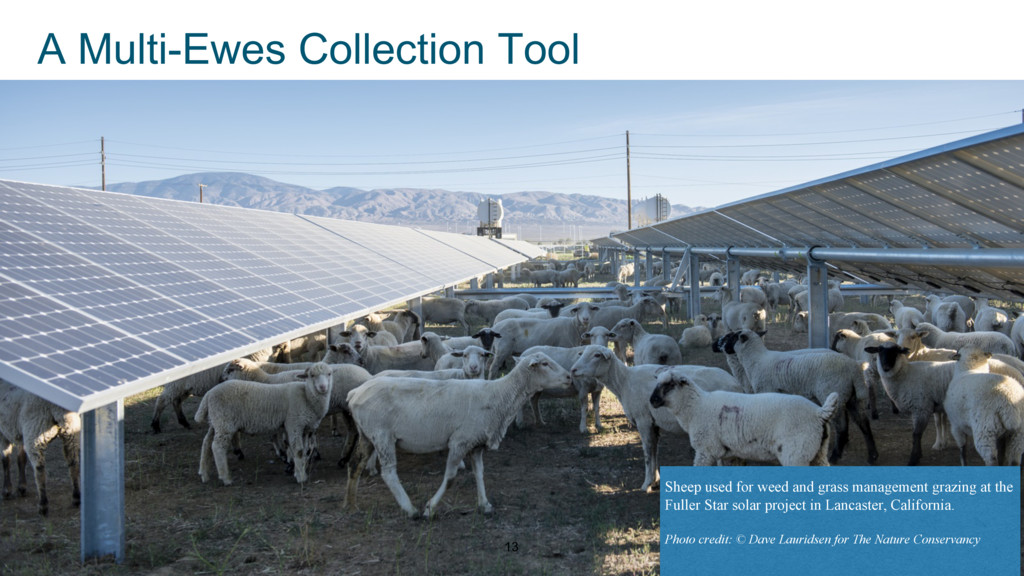 13 A Multi-Ewes Collection Tool Sheep used for ...