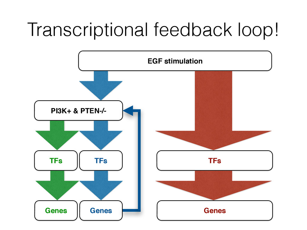 Transcriptional feedback loop! PI3K+ & PTEN-/- ...